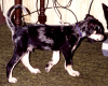 The markings of a Cattle Dog...1993
